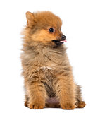 Pomeranian Puppy, 2 months old, sitting, isolated on white