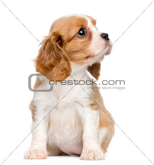 Cavalier King Charles Puppy, 2 months old, sitting and looking u