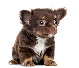 Chihuahua Puppy, 2 months old, sitting and looking up, isolated