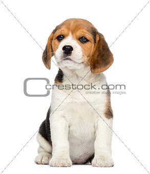 Beagle Puppy, 2 months old, sitting, isolated on white