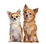 Two Chihuahuas, 5 and 4 years old, sitting next to each other, i