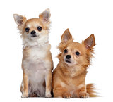 Two Chihuahuas, 5 and 4 years old, sitting and lying next to eac