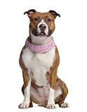 American Staffordshire terrier, 15 months old, seated, wearing a