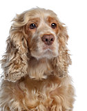 Close-up of an English cocker spaniel, isolated on white