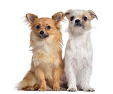 Chihuahua and Crossbreed, 8 months old, sitting next to each oth