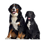 Bernese Mountain Dog and crossbreed between labrador and beagle,