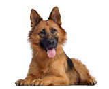 German shepherd, 1,5 year old, lying and panting, isolated on wh