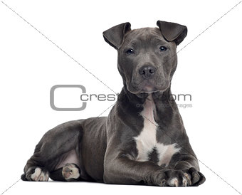 American Staffordshire terrier, 3 months old, lying, isolated on