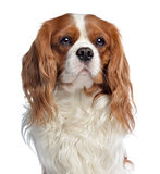 Close-up of a Cavalier King Charles, 2 years old, isolated on wh