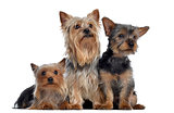 Group of Yorkshire Terrier, 3 and 2 years old and 3 months old,