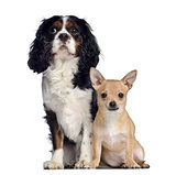 Cavalier King Charles, 1,5 years old and Chihuahua, 7 months old