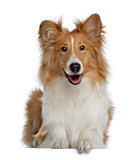 Scotch Collie, 7 months old, lying and facing, isolated on whit