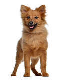 Spitz, 5 months old, standing and panting, isolated on white
