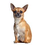 Chihuahua, 2 years old, sitting and facing, isolated on white