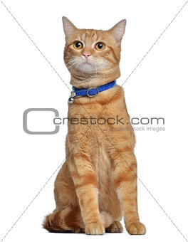 American polydactyl, 1 year old, sitting, isolated on white