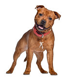 Staffordshire Bull Terrier, 9 months old with red collar, standi