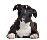 American Staffordshire terrier, 4 months old, lying, isolated on
