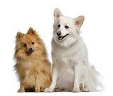 Two Spitz, 1 and 3 years old, sitting next to each other, isolat