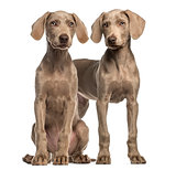 Two Weimaraner puppies, 2,5 months old, sitting and standing, is