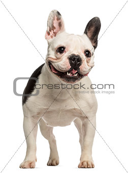 French Bulldog, 2 years old, standing and facing, isolated on wh