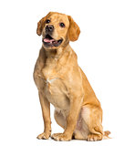 Labrador Retriever, 1 year old, sitting and panting, isolated on