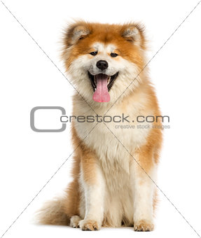Akita Inu, 1 year old, sitting and panting, isolated on white