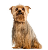 Yorkshire Terrier, 5 years old, sitting, isolated on white