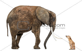 African elephant and Chihuahua looking at each other, isolated o