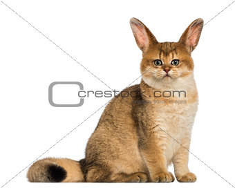 Cat with rabbit ears sitting and looking at the camera