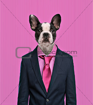 French Bulldog wearing a suit, pink background