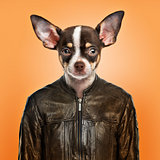 Chihuahua wearing a leather jacket, orange background