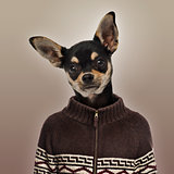Chihuahua wearing a sweater, brown background