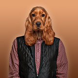 English Cocker spaniel wearing a shirt and jacket, colored backg