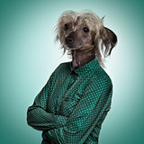 Chinese hairless crested dog wearing a green shirt, green backgr