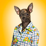 Chihuahua wearing a shirt, yellow background