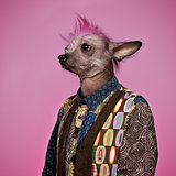 Punk Chinese Crested Dog wearing a shirt, pink background