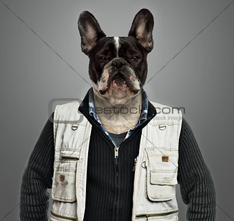 French bulldog wearing work clothes, grey background