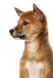 side view of a Shiba Inu puppy (3 months old), isolated on white