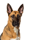 close-up of a German shepherd, isolated on white