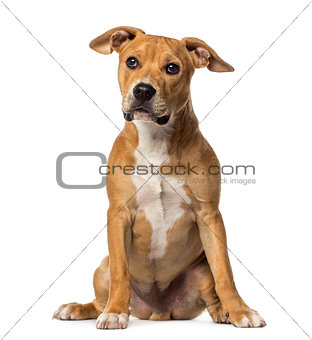 American Staffordshire Terrier sitting, isolated on white