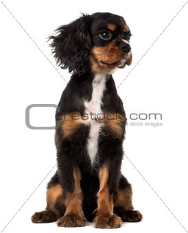 Cavalier King Charles Spaniel puppy looking away (4 months old)