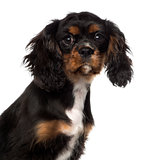 close-up of a Cavalier King Charles Spaniel puppy (4 months old)
