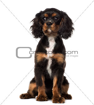 Cavalier King Charles Spaniel puppy sitting (4 months old), isol