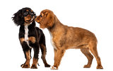 Two Cavalier King Charles Spaniel meeting, isolated on white