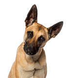 Close-up of a Belgian Shepherd Dog, isolated on white