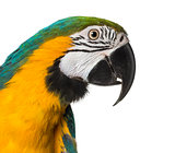 Close-up of a Blue-and-yellow Macaw, isolated on white