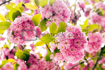 Pink flowers of tree in spring