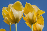 Yellow tulips against a blue sky