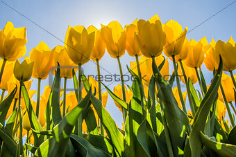 Yellow tulips in the sun