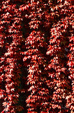 a texture of red climber with leaves,  during autumn